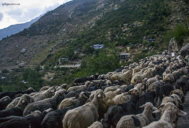goats-kinnaur