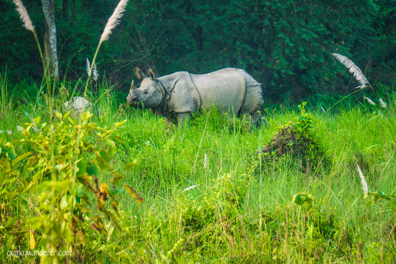 rhino in chitwan